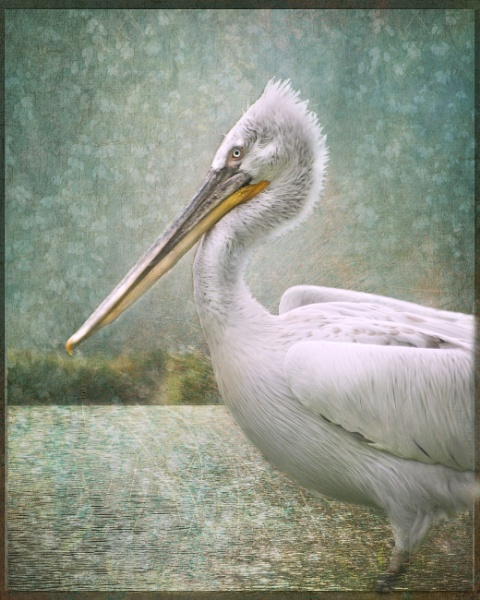 Pelican by polly470