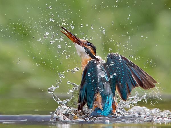 Rising damp - Common Kingfisher by Jamie_MacArthur