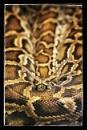 Snake by Steveh550