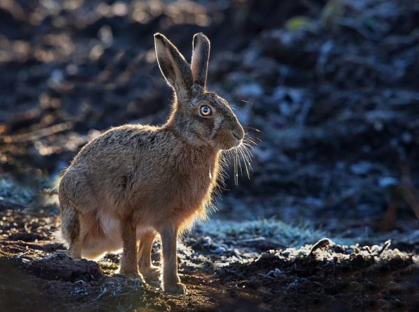 Brown Hare by hasslebladuk