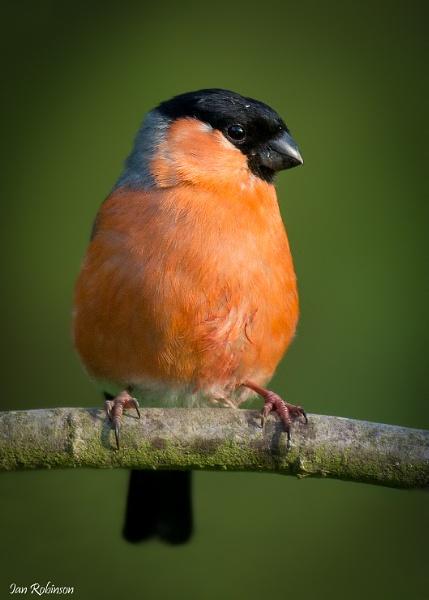 Male Bullfinch by ianrobinson