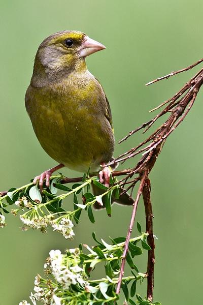 Greenfinch by cleg