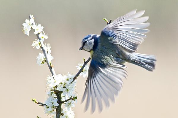Blue Tit by cleg