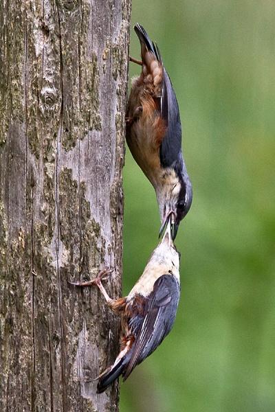 Feeding time by cleg