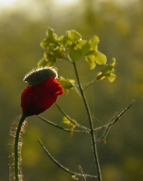 Red in yellow by longhoss