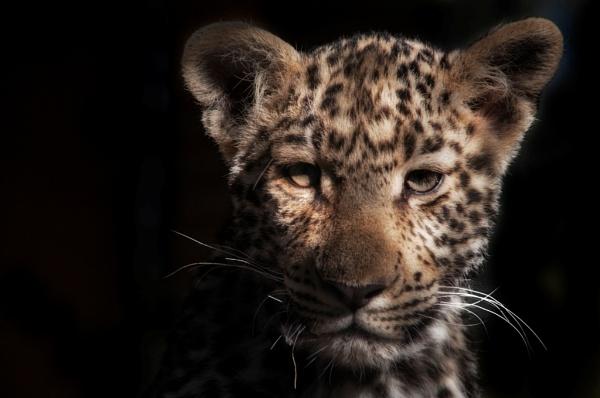 Leopard Cub by Msalicat