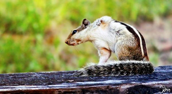 Squirrel by pankaj_dutta