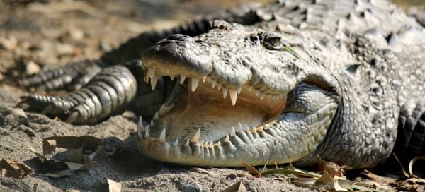 Crocodile by Dureja