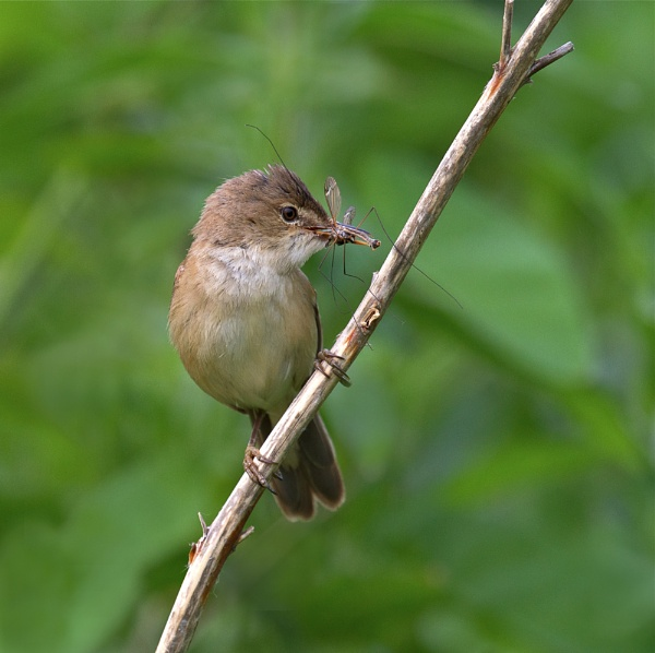 Reed Warbler with daddy longlegs. by footloose