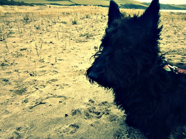 Ruby the Scottish Terrier by Livvy123