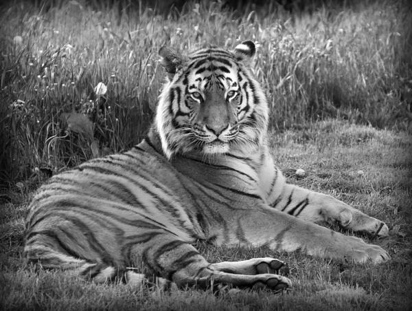 Amur Tiger by Franko59