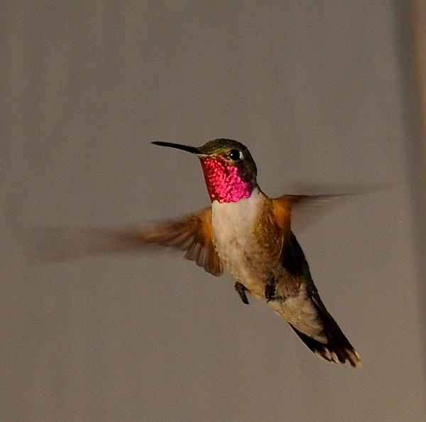 BroadTail Hummingbird by StuartDavie