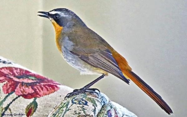Cape Robin by Hermanus