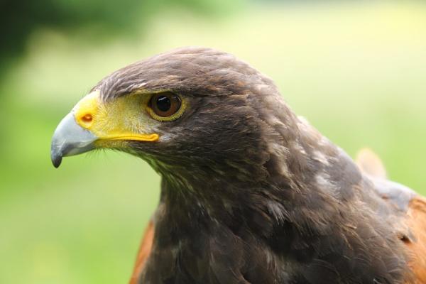 Echo the Harris Hawk by lustrells61