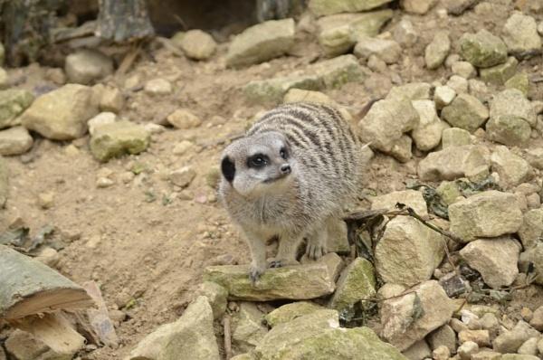 meerkat by gazlowe