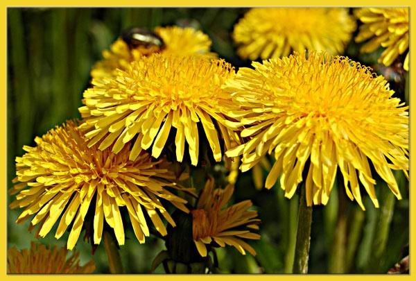 Dandelion-Taraxacum! by minamahal