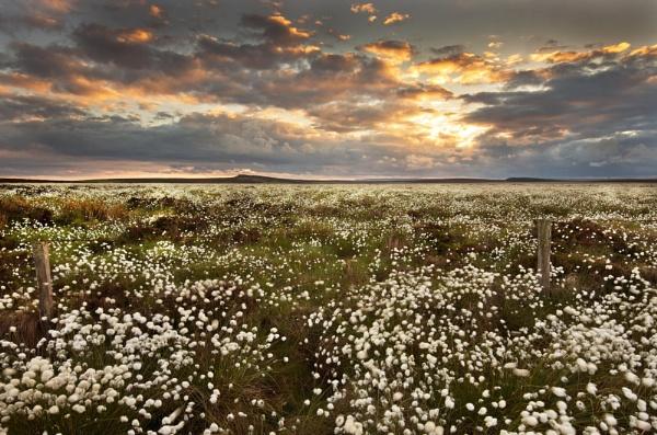 Cotton Grass Vista by Trevhas