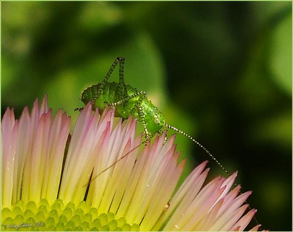 Tiny 5mm Grasshopper - I think! by Humblebee