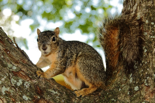 Texas Fox Squirrel by kaoskode