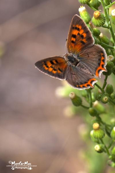 Butterfly by ManCorMac