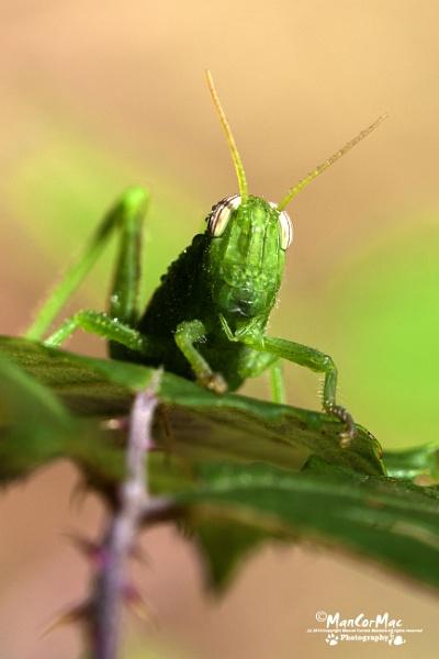 Green Grasshopper by ManCorMac