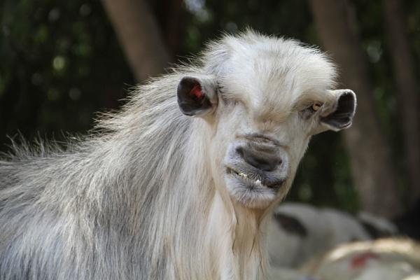 Unique billy goat by netz