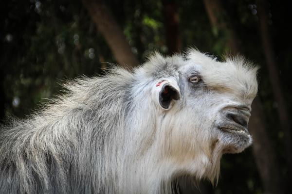 Unique billy goat 2 by netz