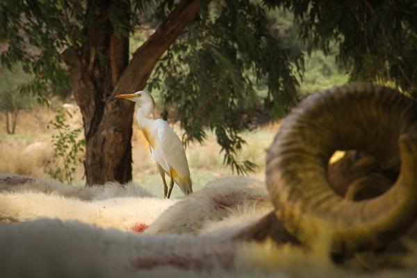 Cattle Egret by netz