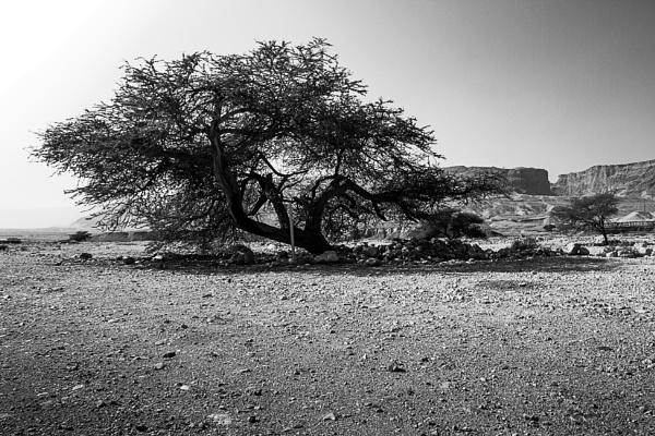 A tree in the desert by netz