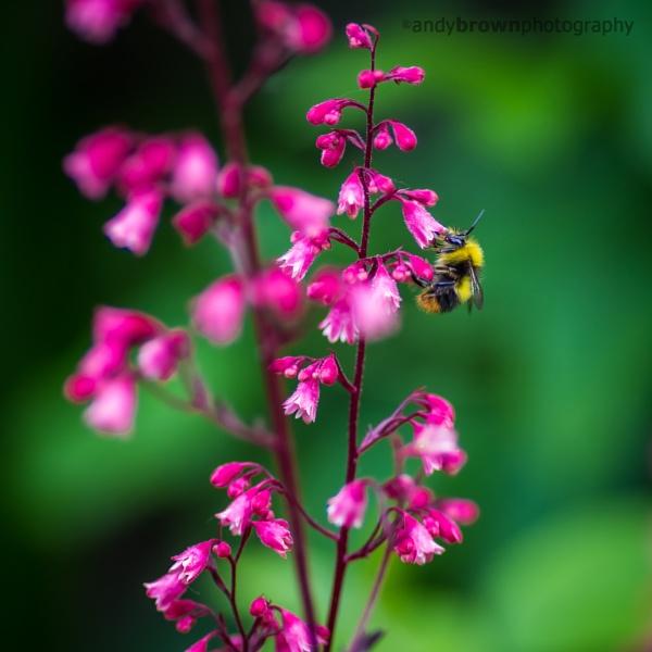 Heuchera and Bee by ABPhotosUK