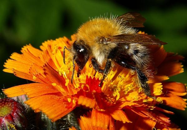 Bumblebee by turniptowers