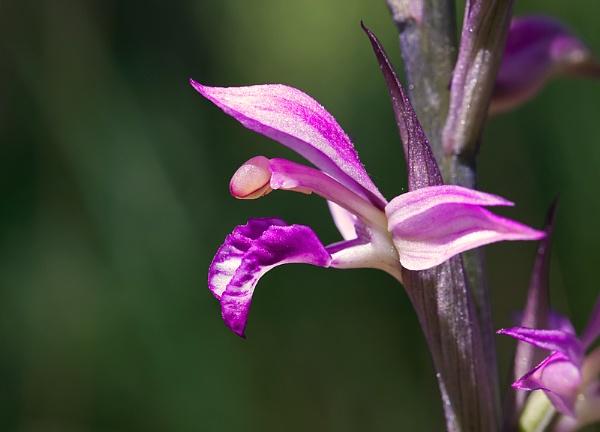Violet Bird\'s Nest Orchid by mattberry