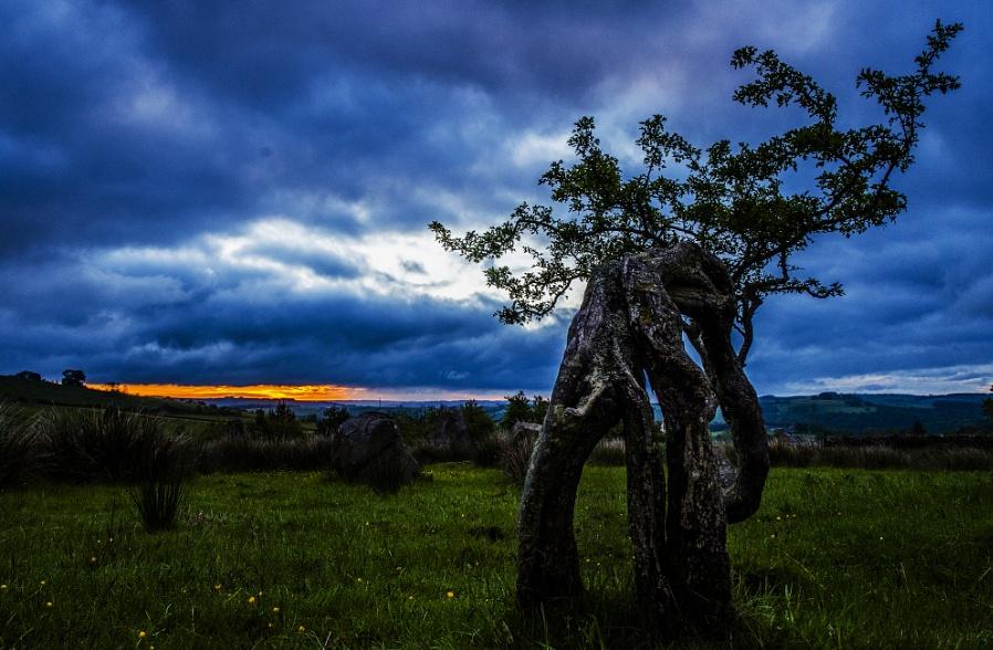 Hawthorn at Dawn