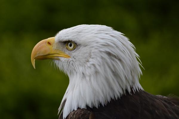Bald Eagle by gaza1957