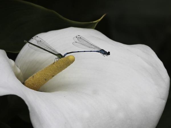 Mating damsels by JenniCh