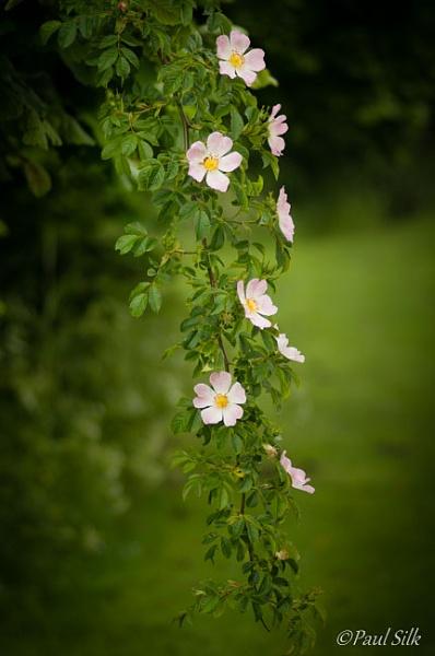 Wild Roses (Rosa canina) by Craftysnapper