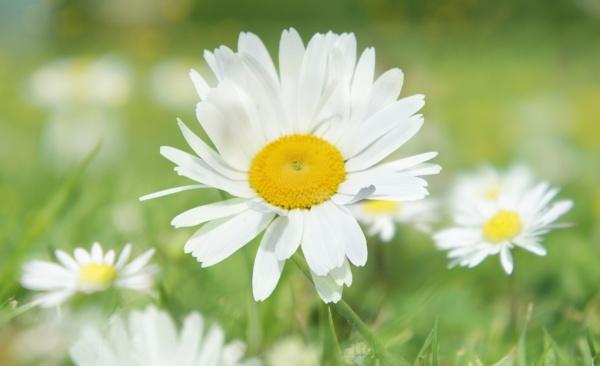 Summer Daisies by betttynoir