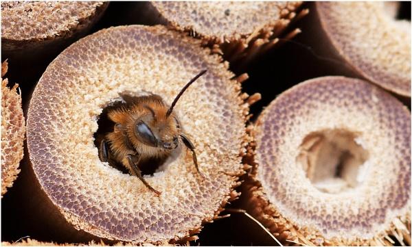 Miner Bee by Glynn
