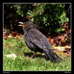 Hot blackbird