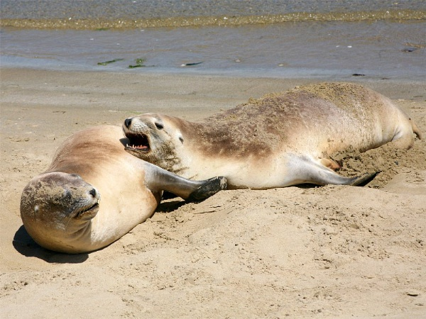 Hooker\'s Sea Lions by SquarePeg