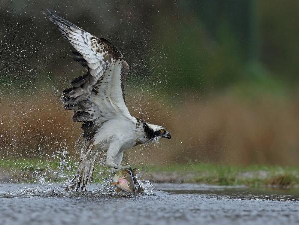 Osprey Rothiemurchus by Elliebarn