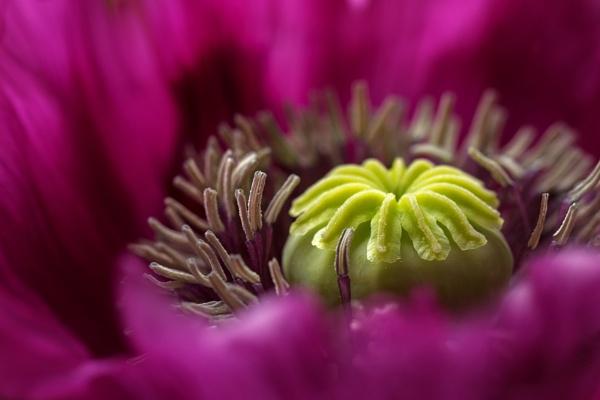 Poppy by MandyD