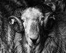 Welsh Mountaen Ram by wynn469