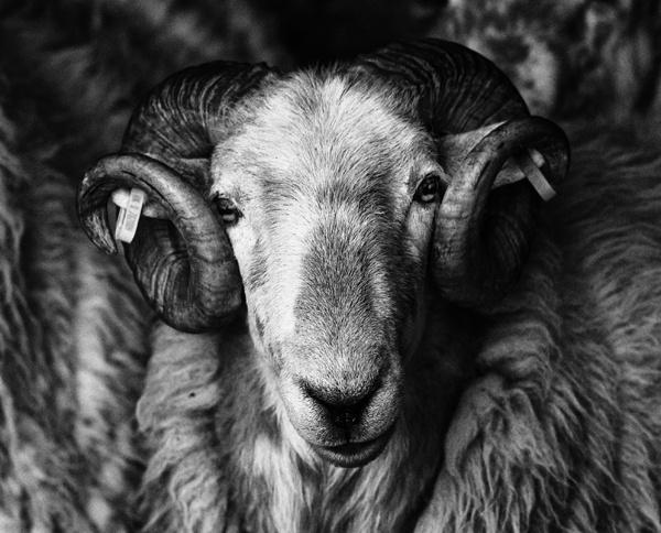 Welsh Mountaen Ram