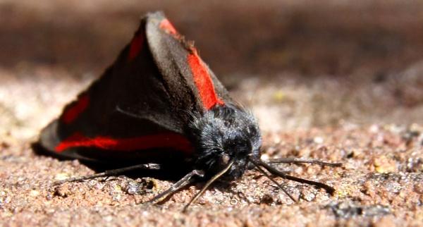 Cinnabar Moth ? by RTR