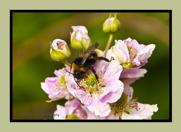 White-tailed Bumblebee by SmartAS