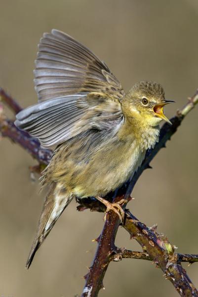 Grasshopper Warbler by hasslebladuk