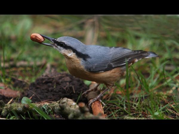 Nuthatch burying food