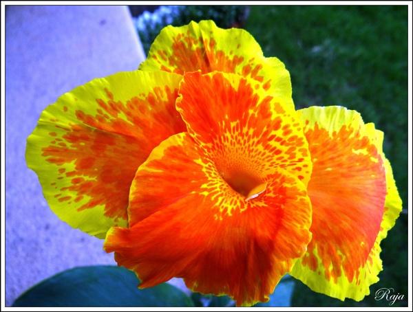 Sunny Canna by RajaSidambaram