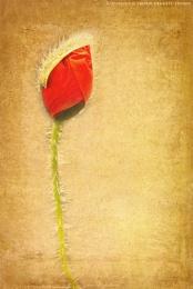 ~ Poppy ~